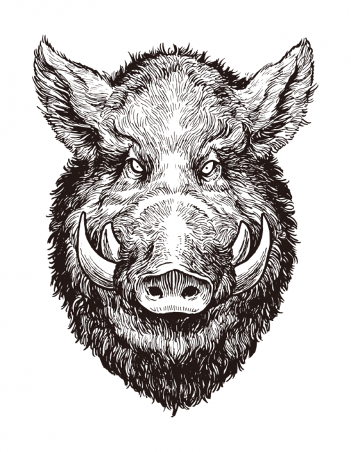 Wild Boar face / Drawing