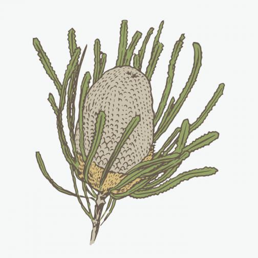 Banksia / Drawing