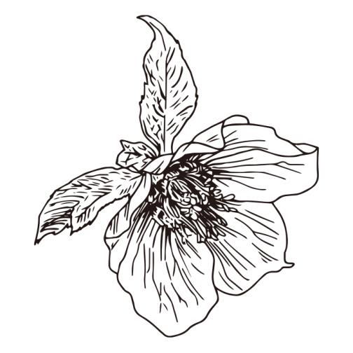Christmas rose 01 / Drawing