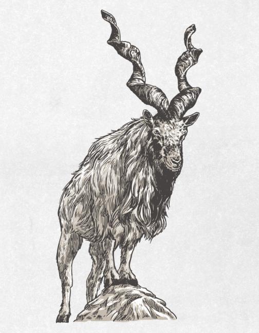 Markhor 01 / Drawing