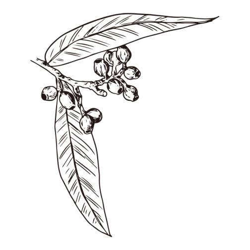 Eucalyptus / Drawing