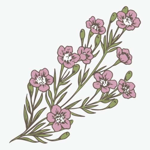 Waxflower drawing