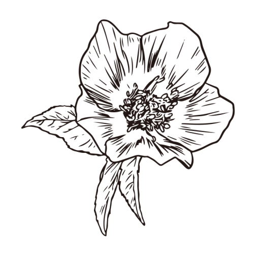 Christmas rose drawing 02